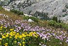 endangered alpine meadow